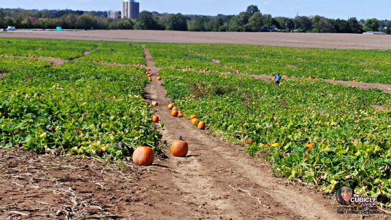 Eckert's Farm pumpkin patch