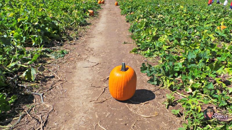 Eckert's Farm pumpkins